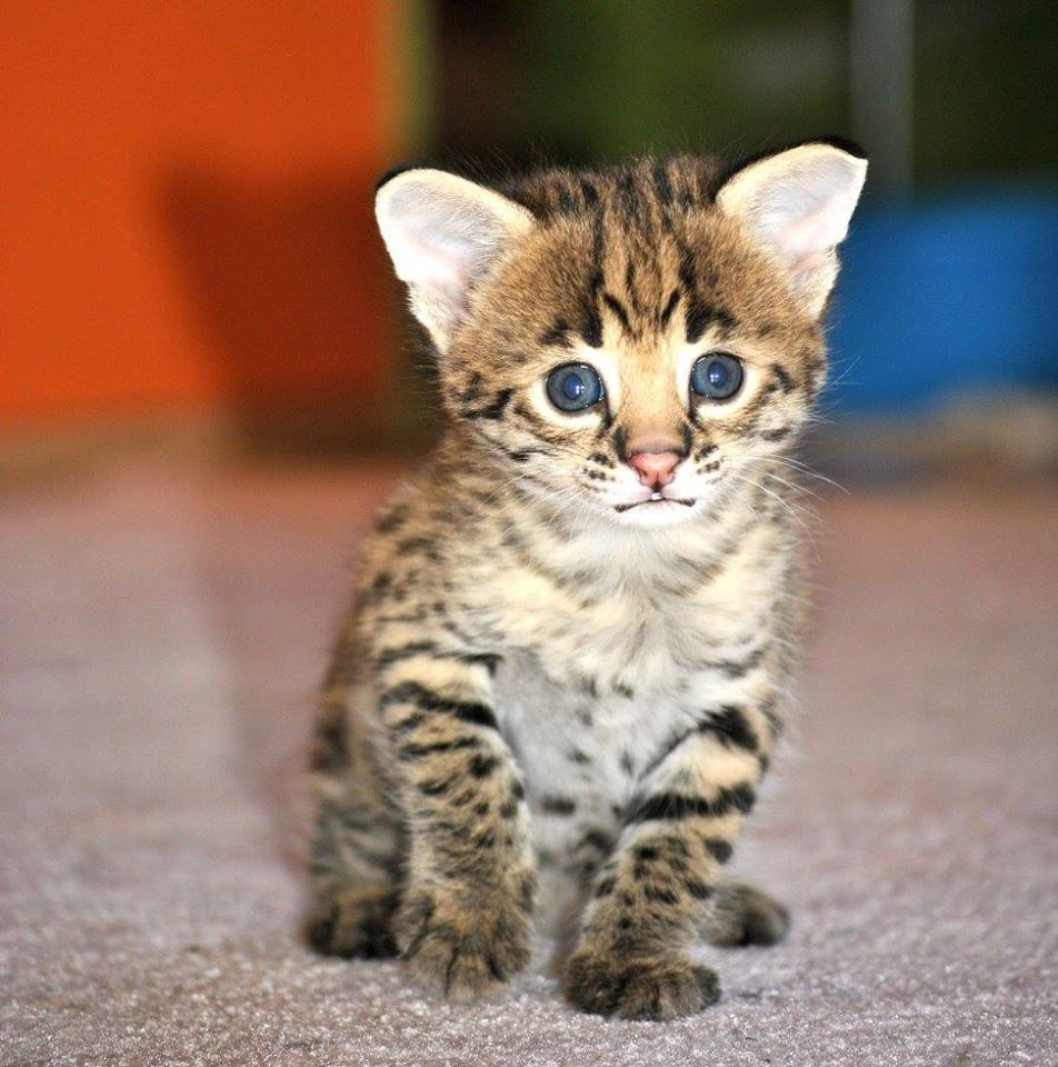 Serval , savannah and caracal kittens for sale   Cheyenne