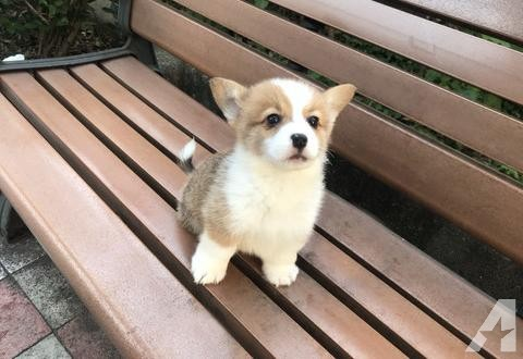 Teacup Corgi Puppies Goldenacresdogs