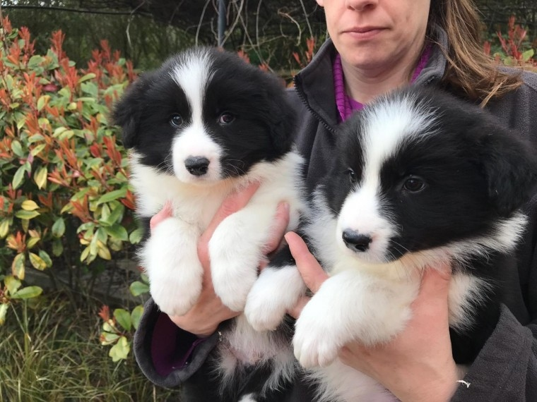 Border Collie For Price In