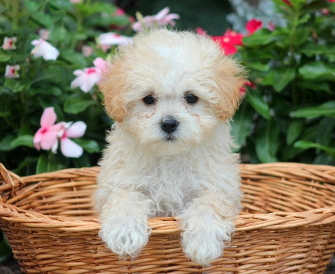 Malti Poo Dog Breeders Goldenacresdogs Com