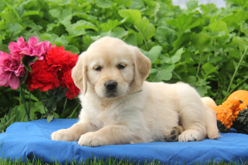 Pets For Sale Adoption in Coimbatore India Classifieds