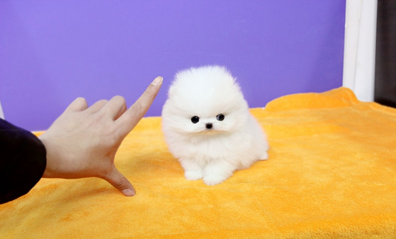 Pomeranian Puppies For Sale In Coimbatore