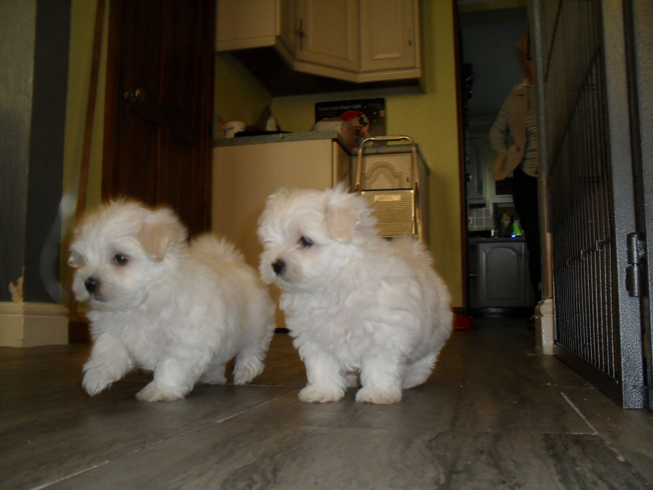 Dogs For Sale Adoption in Islamabad Pakistan Classifieds