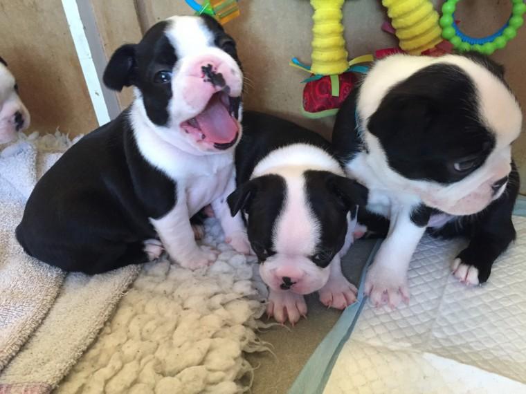 Dogs For Sale Adoption in Agios Nikolaos Cyprus Classifieds