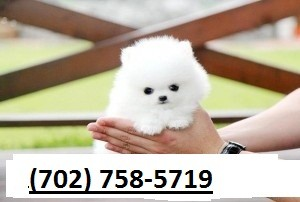 Mexicali Affectionate Teacup Pomeranian For Sale in Mexico