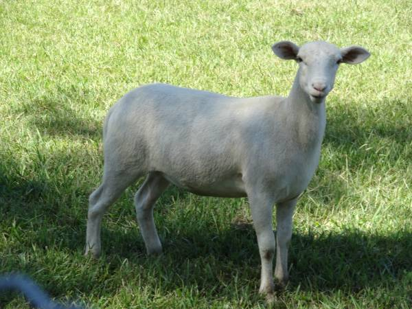 Davenport Sheep For Sale in Florida Classifieds Free Ads