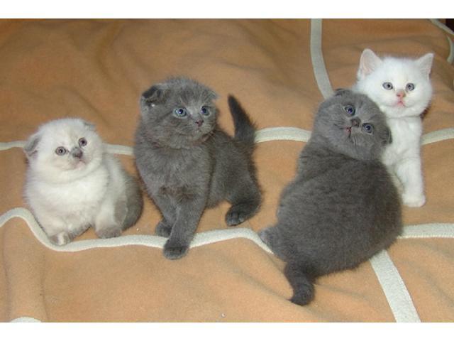 Memphis Cats For Sale in Florida Classifieds Free Ads