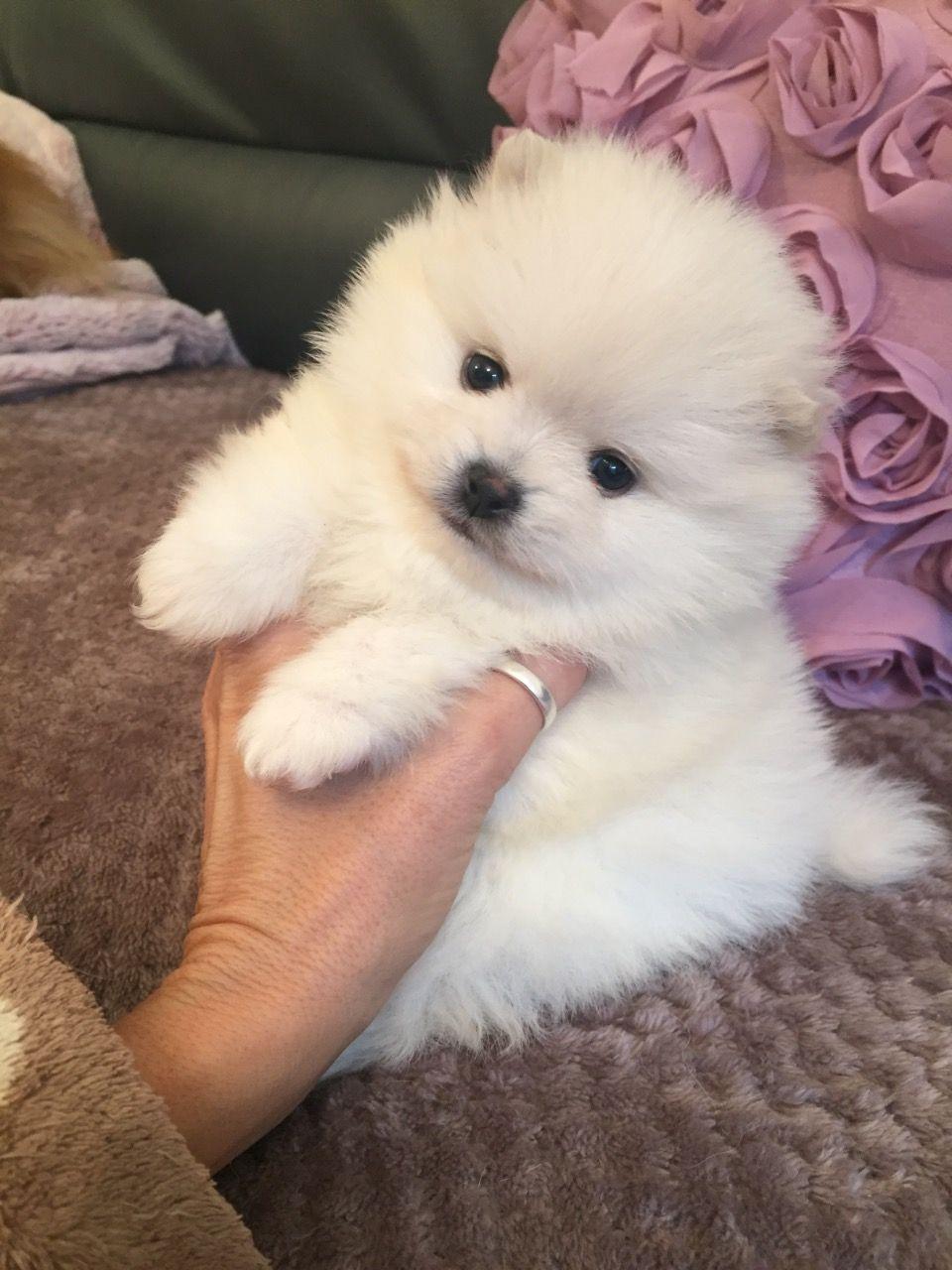 Pomeranian Puppies For Sale For Sale in Perth Australia